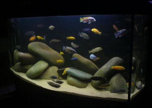 Malawi Cichlids, Malawi Species Profiles, African Cichlids