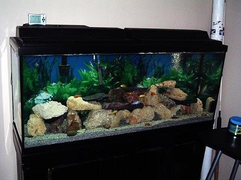 Malawi cichlids malawi species profiles african cichlids for African cichlid tank decoration