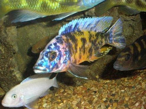 Malawi cichlids malawi species profiles african cichlids for Lake malawi fish