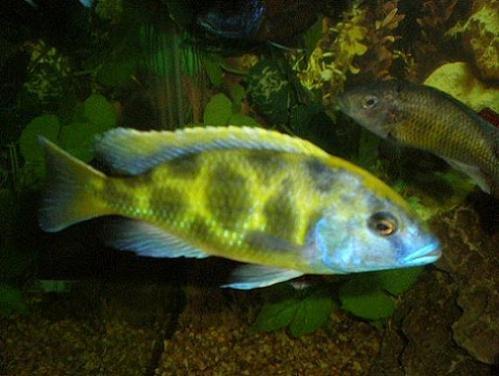 Malawi Cichlids, Malawi Species Profiles, African Cichlids, Lake ...